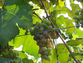 Catawba Wine Grapes on the Vine