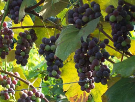Concord Wine Grapes on the Vine