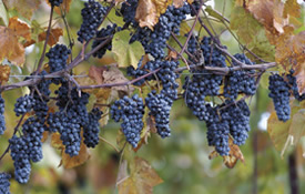 Norton Wine Grapes on the Vine