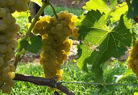 Seyval Blanc Wine Grapes
