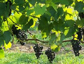 St. Vincent Wine Grapes on the Vine