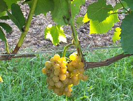 Traminette Wine Grapes on the Vine