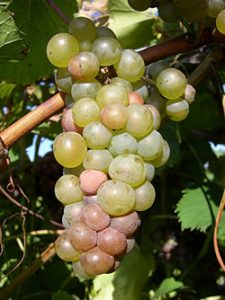 Vignoles Wine Grapes on the Vine