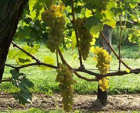 Vivant Wine Grapes on the Vine